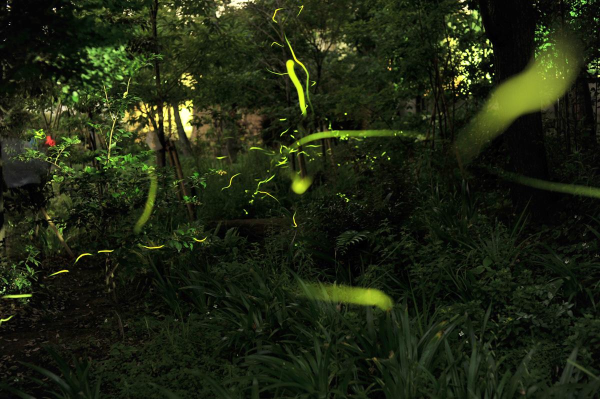 大井町自然再生観察園でのホタル飛翔